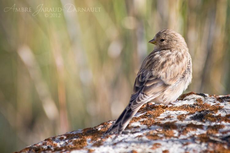 Himalayan Bird I by darkcalypso