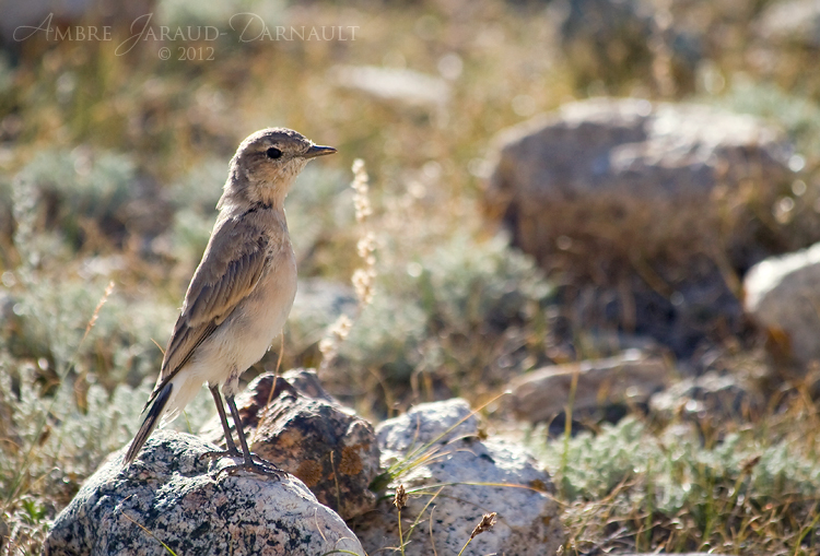 Himalayan Bird II by darkcalypso