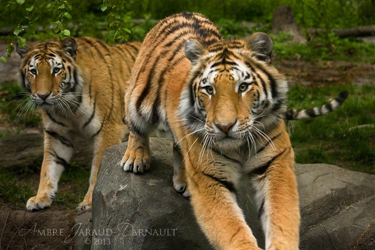 Stalking Tigers by darkcalypso