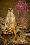 Lord Meerkat