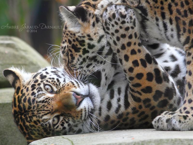 The Vampire Jaguar by darkcalypso