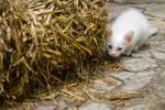 No I'm Not A Rat, I'm Just A Cat