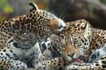 Jaguar Sisters Grooming I