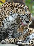 Jaguar Sisters Grooming III