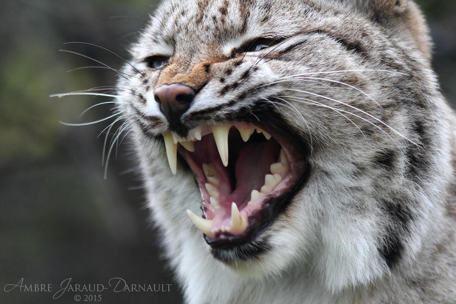 Lynx Mouth Inspection I by darkcalypso