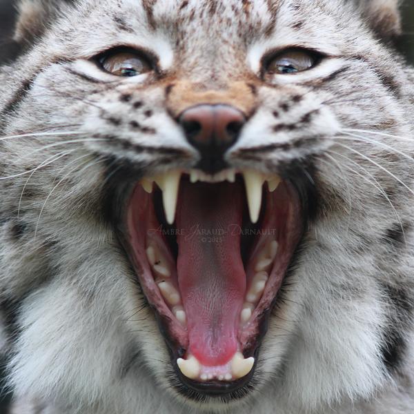 Lynx Mouth Inspection II by darkcalypso