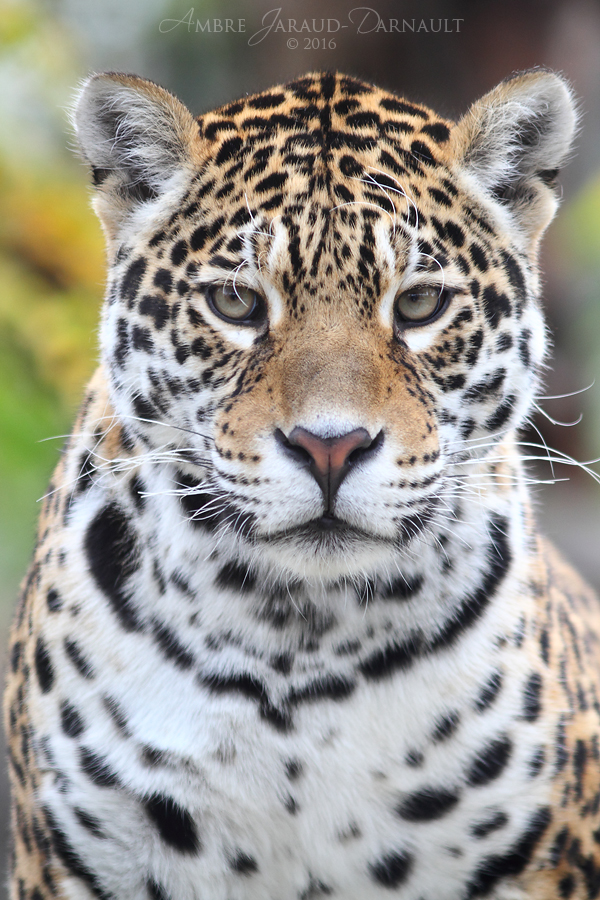 Jaguar Portrait by darkcalypso