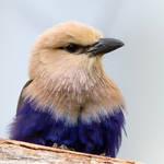 Blue Beige Bird