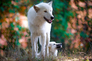 White Wolves In Faerieland