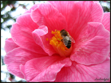 Pink Nectar II