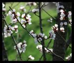 Apricot Blossoms 2
