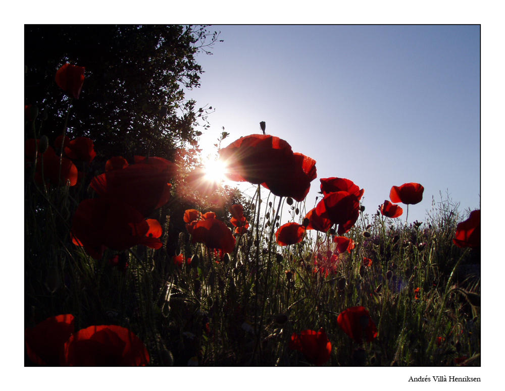 poppy view by Henriksen
