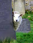 A Peeping Sheep