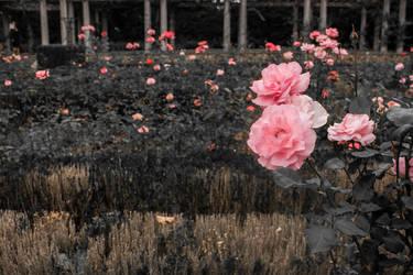 Roses by Vaudano