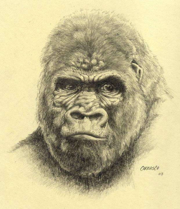 Gorilla Face Line Drawing : Gorilla drawing by manu on deviantart
