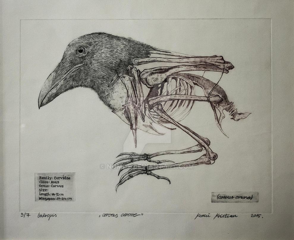 Corvus corone by Nomde
