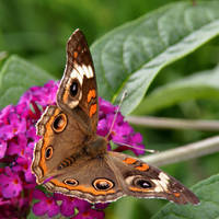 Buckeye Butterfly on Buddlea