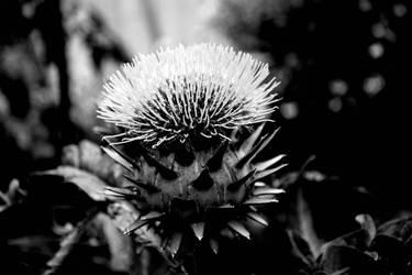 Artichoke flower 3 by Brimo13371