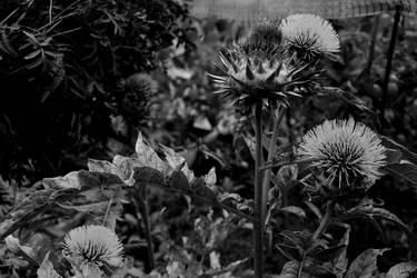 More artichoke flowers 2