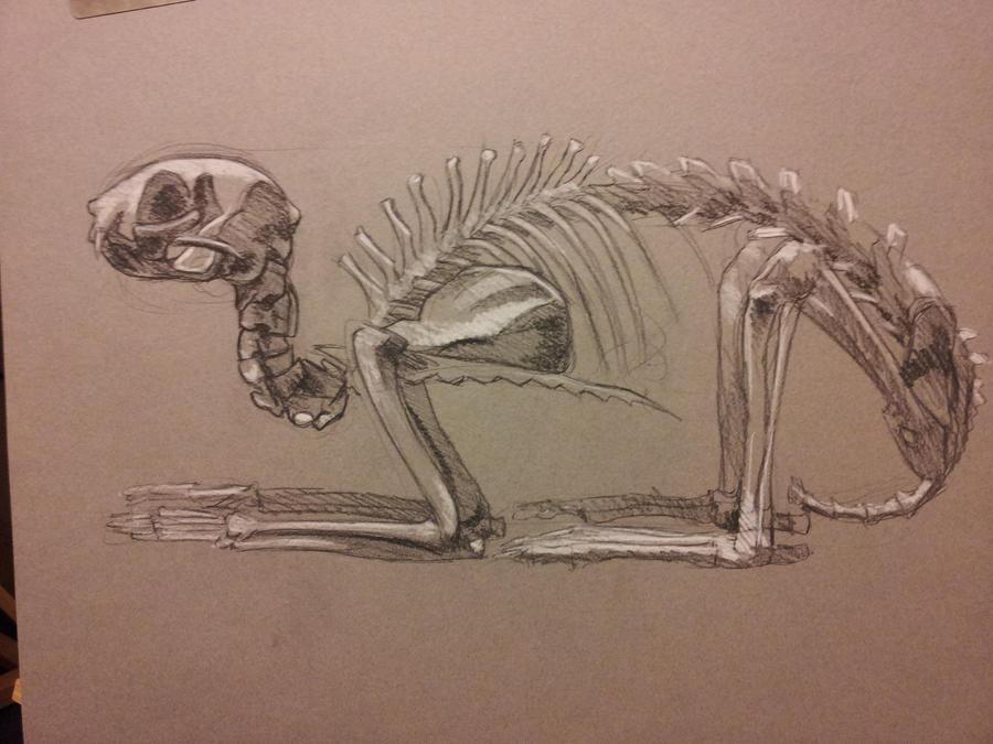 Cat Skeleton Drawing Cat Skeleton by