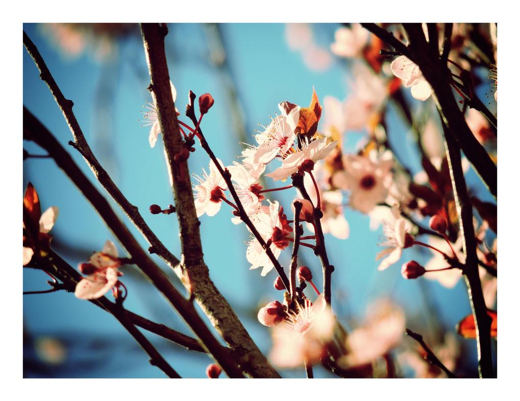 Sakura X by fugiDUDUP