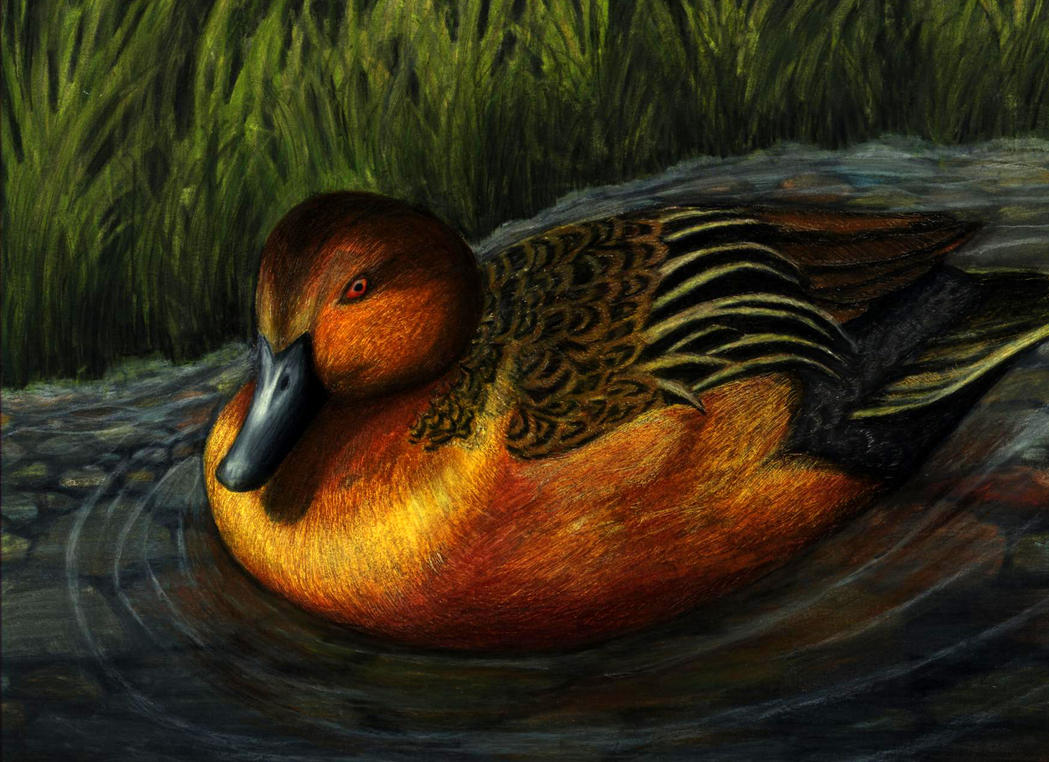 Cinnamon teal by TheLaughingVixen