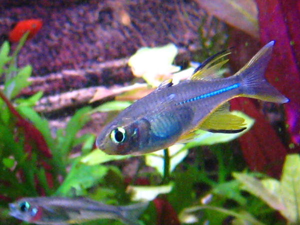 male celebes rainbow fish by Fishybobo on DeviantArt