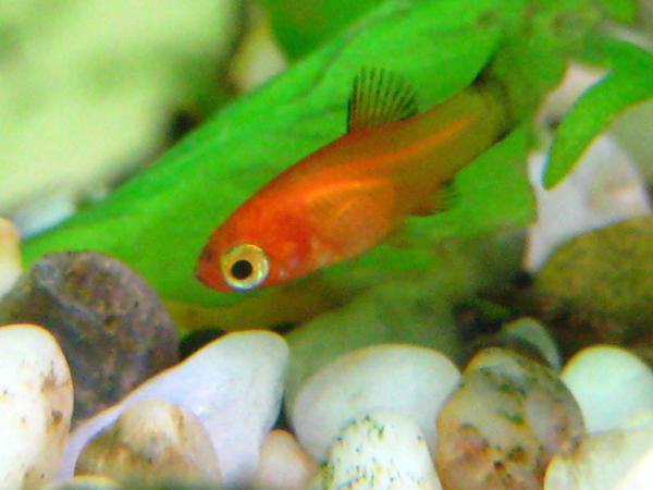 baby platy by fishybobo on deviantart