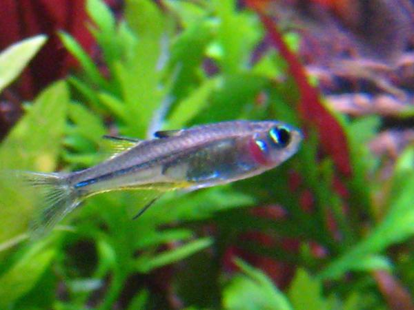 Female Celebes Rainbow Fish By Fishybobo On Deviantart