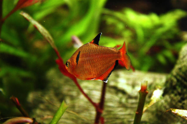 Red phantom tetra II by Fishybobo on DeviantArt