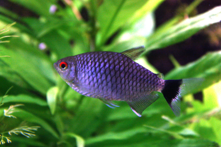 Red Eye Tetra by Fishybobo on deviantART