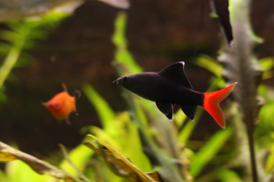 Red tail black shark 2 by fishybobo on deviantart for Red tail shark fish