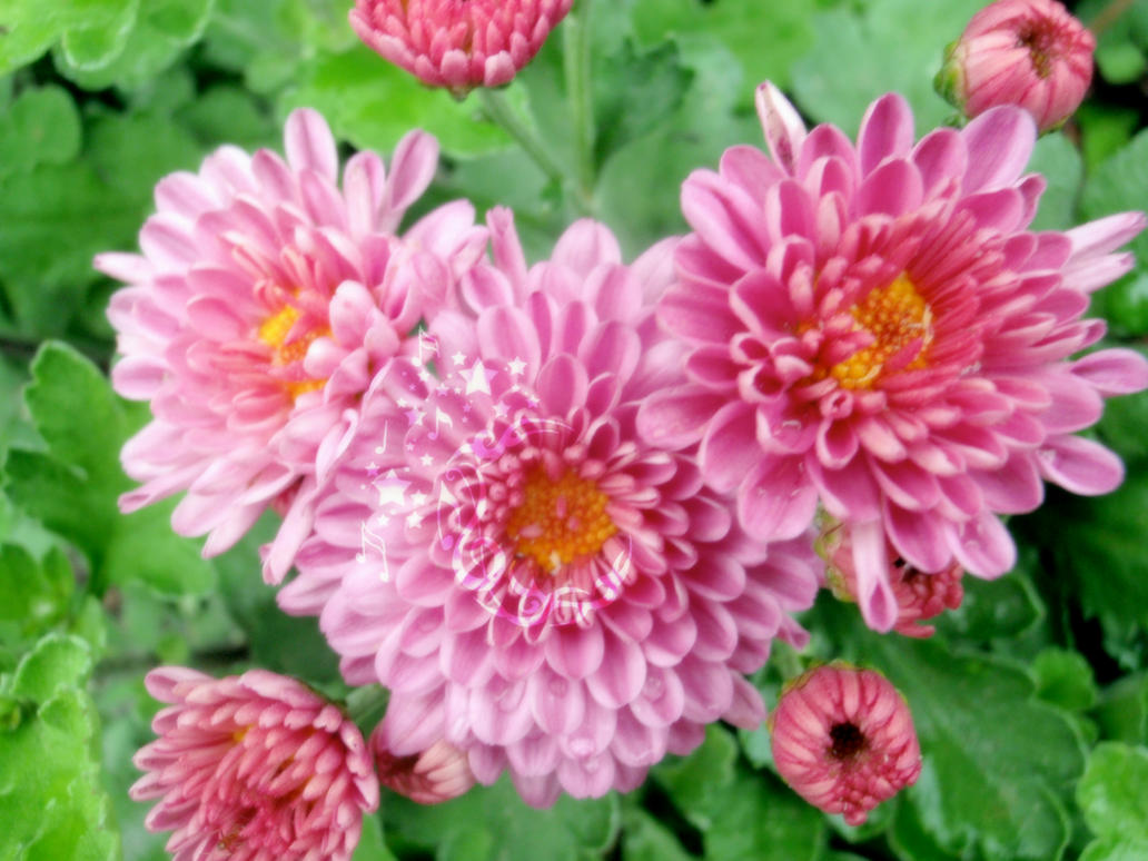 Pink Mums by Boomagoo on DeviantArt
