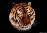 Asganafer's tiger!
