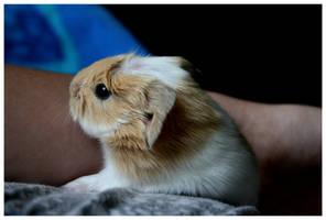 Baby Guinea Pig II by ku-leo-lev
