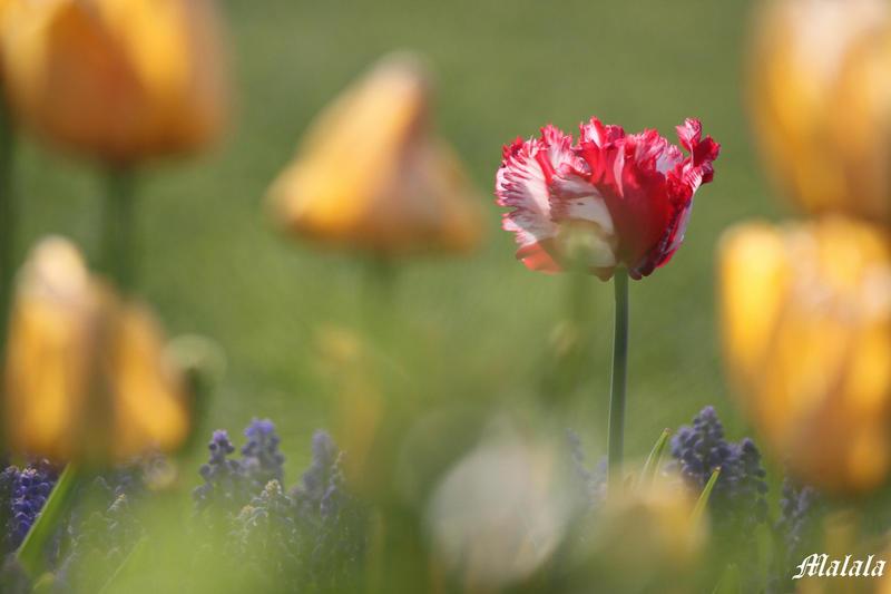 Sensual tulip2 by MDDahl
