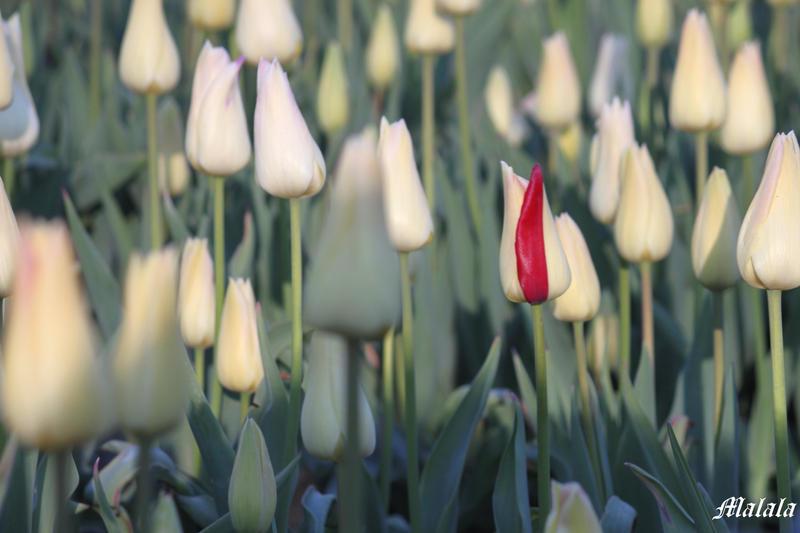 Tulips5 by MDDahl