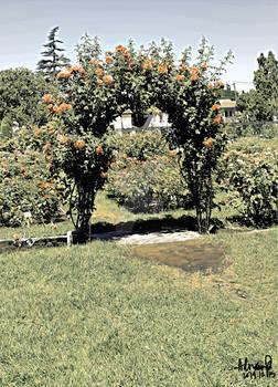 Rose Arch @ SJ Municipal Rose Garden