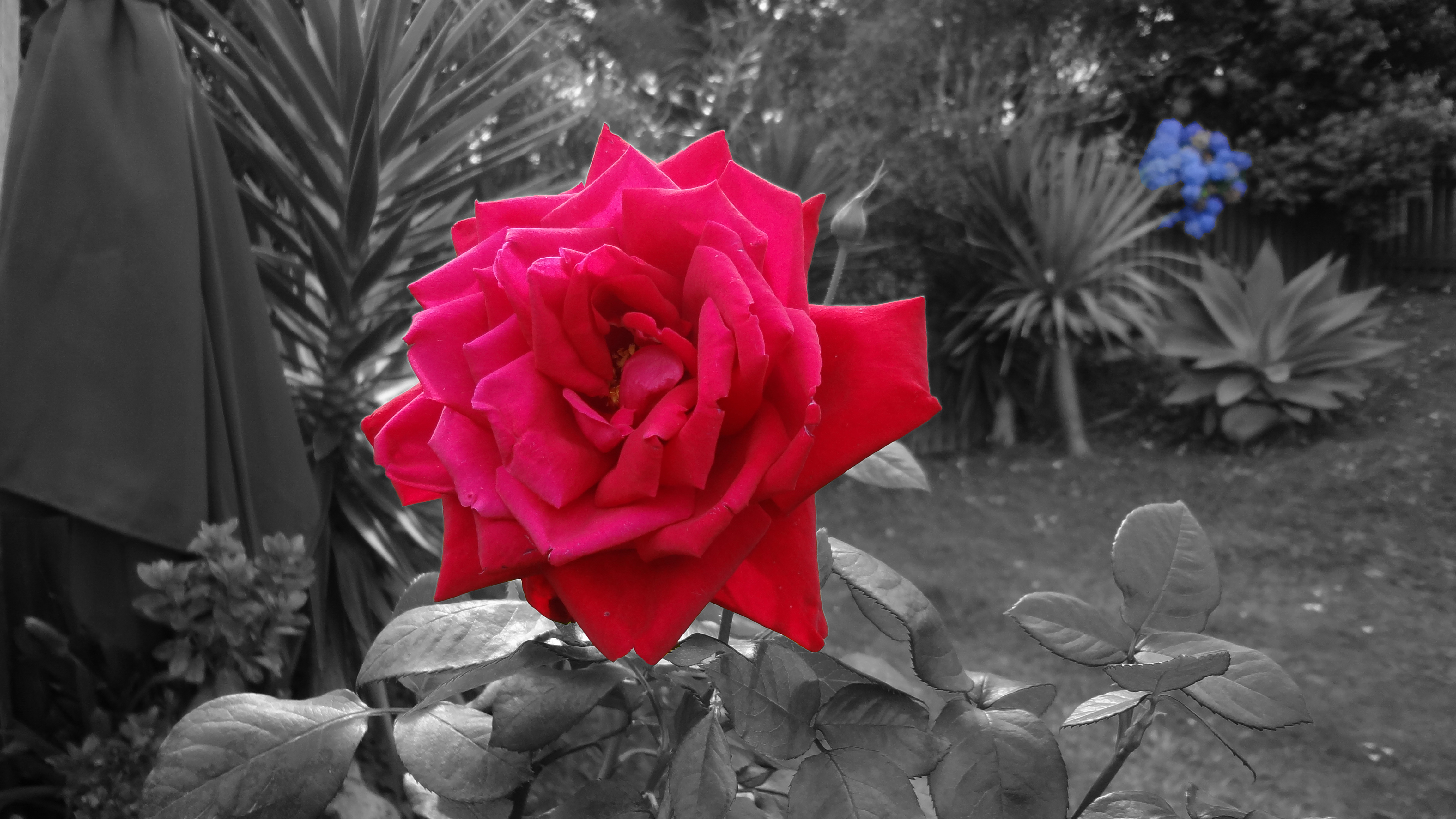 Black / White / Color Rose / Flowers by LeroyDaNinja on ...