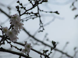 Lonely Blossoms
