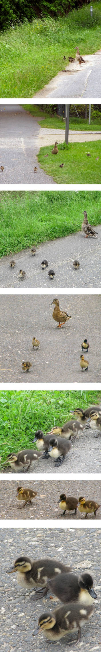 Ducklings on Vacation