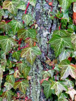 Ivy - close