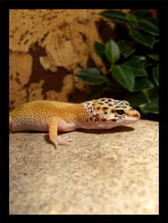 Geckos4 by Elephtheruid