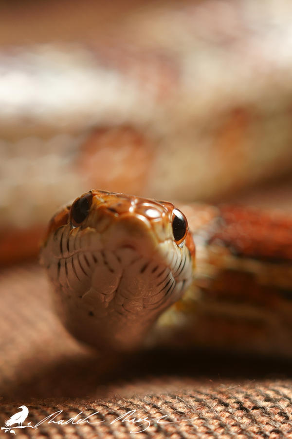 Narga - Corn snake (Elaphe guttata) by PhotoDragonBird
