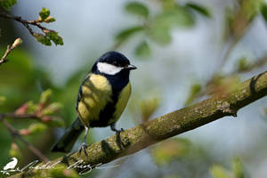 Great tit (Parus major) by PhotoDragonBird
