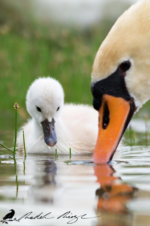 You teach me, Mom? - Young Mute swan (Cygnus olor)