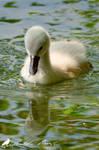 Water mirror - Young Mute swan (Cygnus olor)