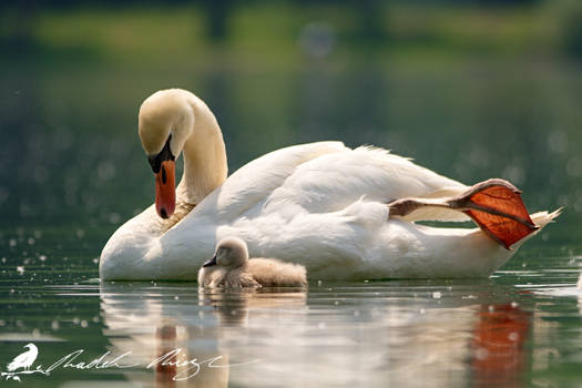 DD - Mother and child - Mute swan (Cygnus olor)