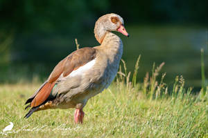Egyptian goose (Alopochen aegyptiacus) by PhotoDragonBird