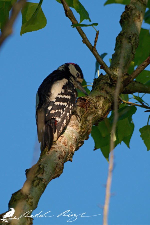Great spotted woodpecker (Dendrocopos major) by PhotoDragonBird